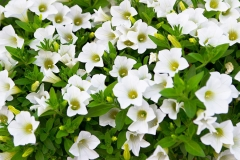 Close-up flowers of white petunias; Shutterstock ID 149599652; Purchase Order: -